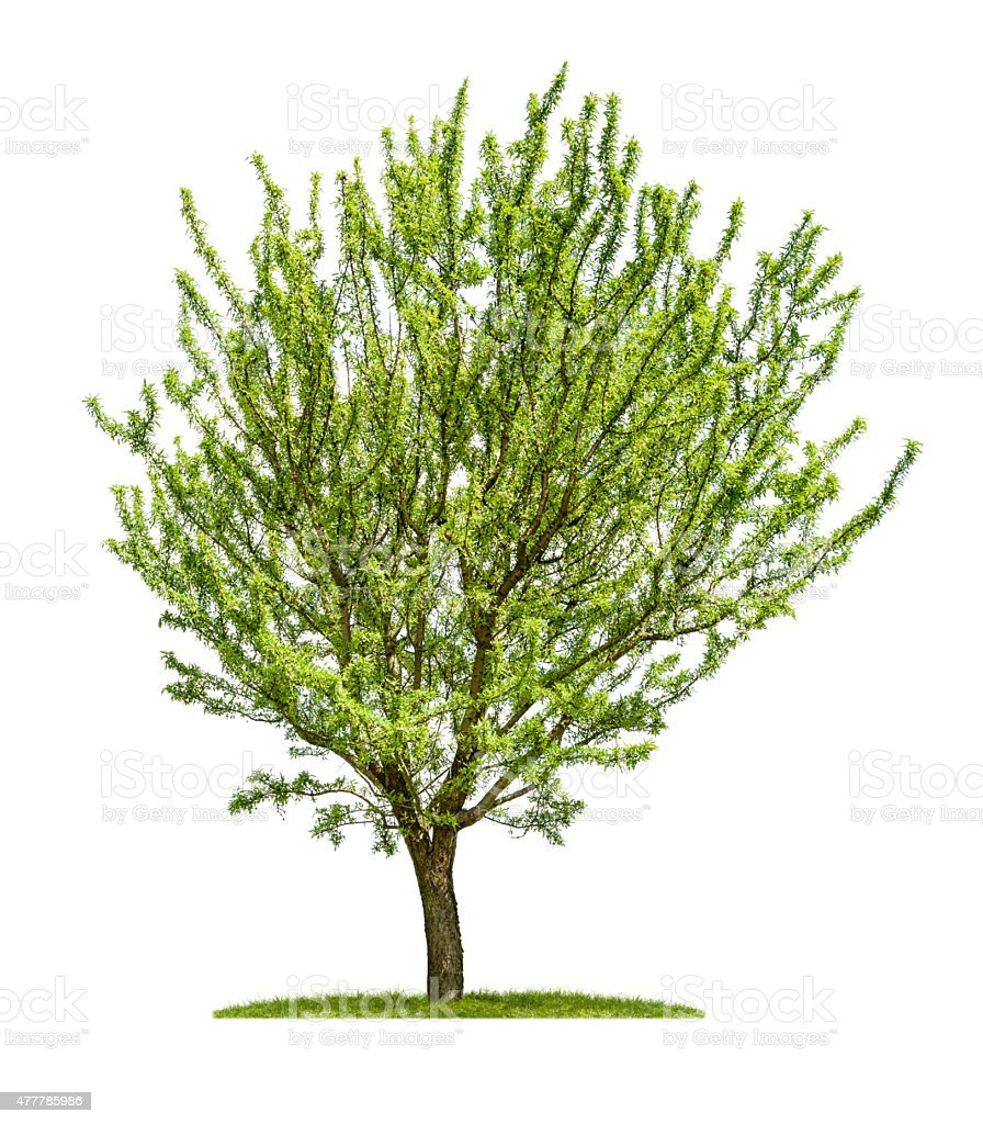 Isolated almond tree on a white background stock photo