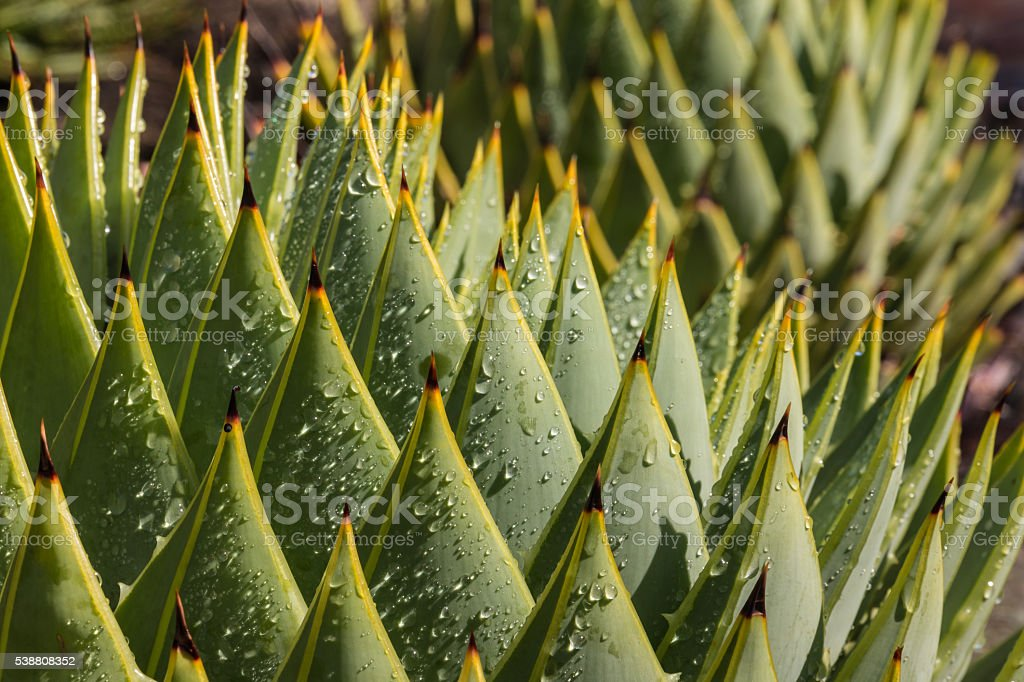 isolated aloe cactus with raindrops stock photo