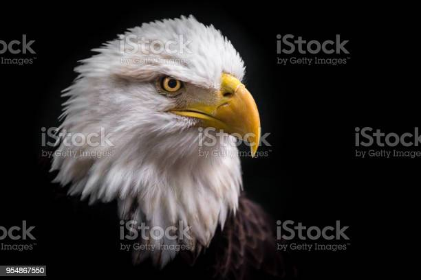 Isolated american bald eagle looking down to the right picture id954867550?b=1&k=6&m=954867550&s=612x612&h= 46qyy51xipvwmcgktrj0 vl4pe0rzckwlcz2jgnlqa=