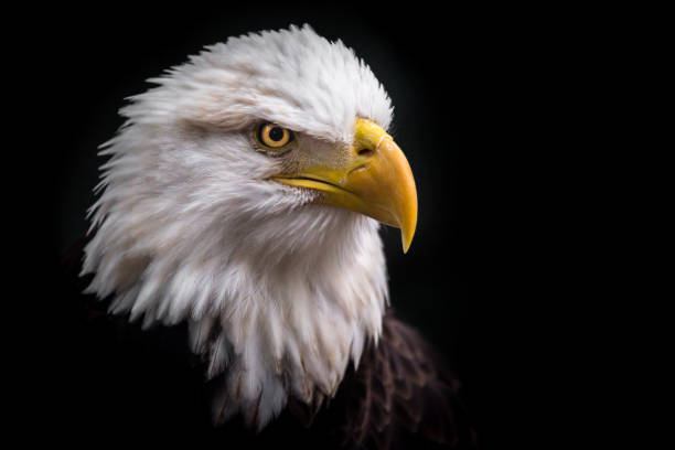 isolated american bald eagle looking down to the right - eagle stock photos and pictures