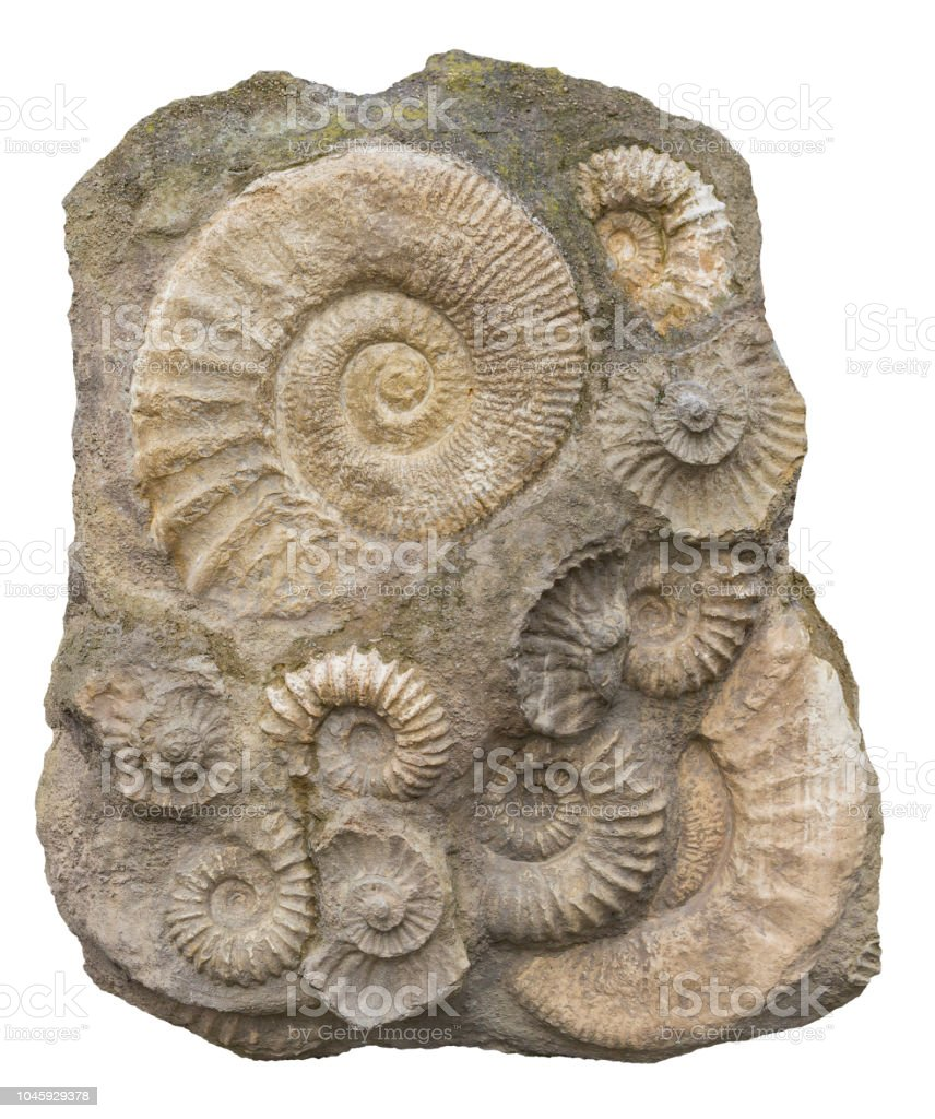 Isolated Ammonite Fossils Stock Photo ...