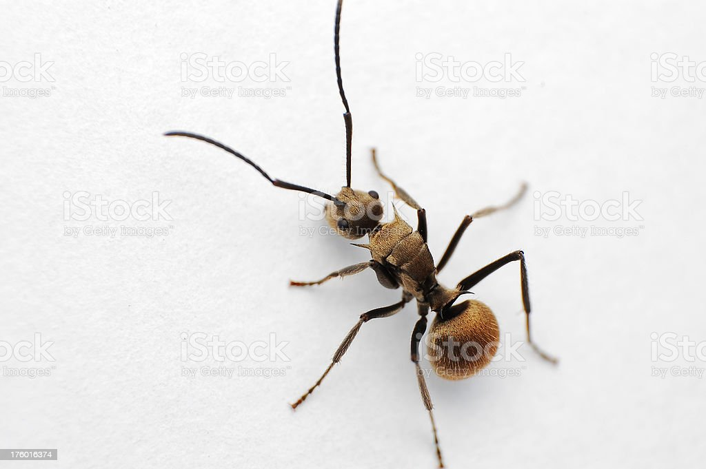 isolated ant stock photo