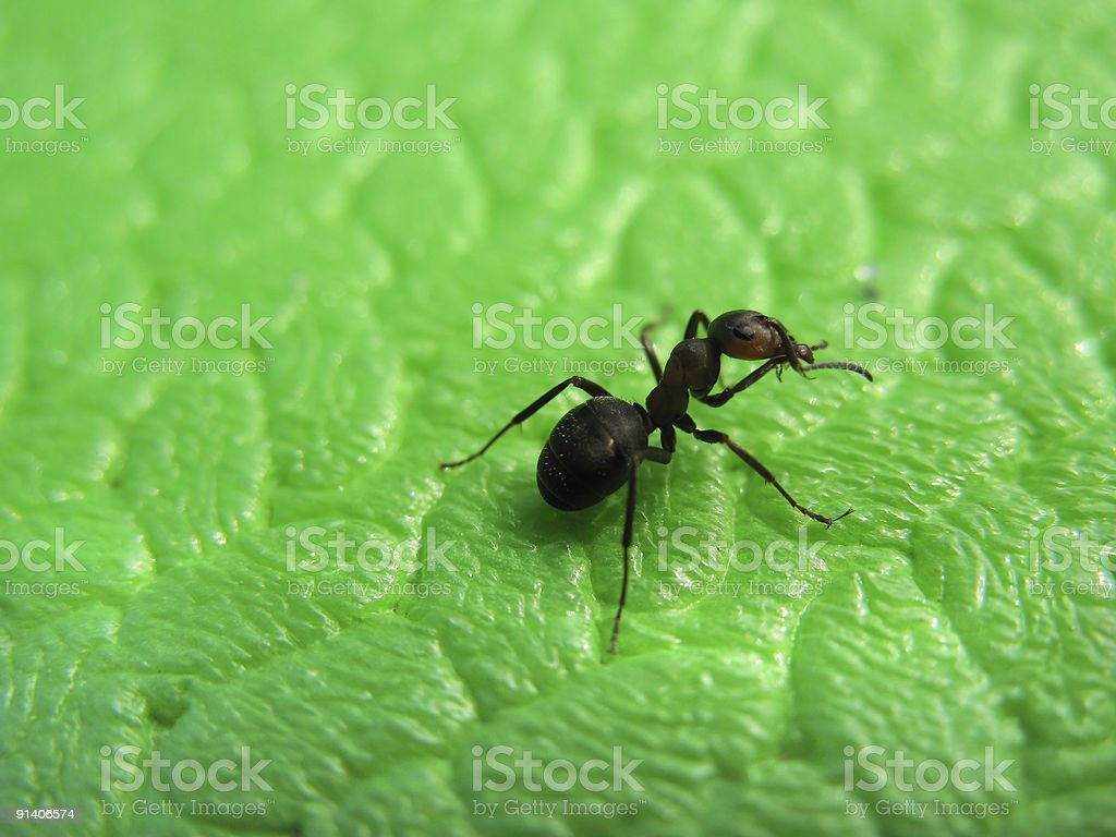 Isolated ant royalty-free stock photo