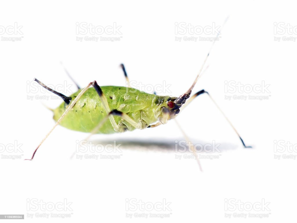 Isolated aphid 05 stock photo