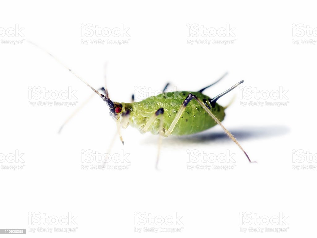 Isolated aphid 06 stock photo