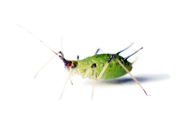Isolated aphid 06  aphid stock pictures, royalty-free photos & images