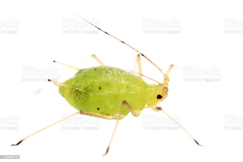 Isolated Aphid (XXXL) stock photo