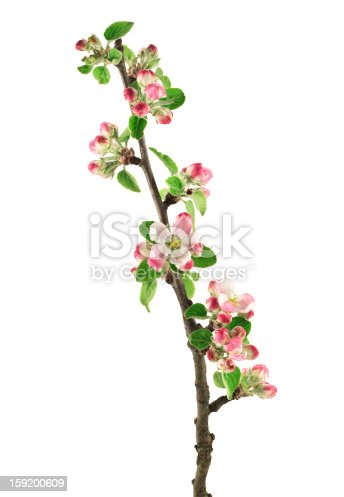 Apple blossom - isolated on white background.