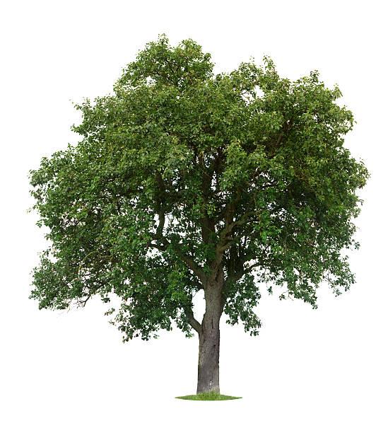 Isolated Apple Tree stock photo