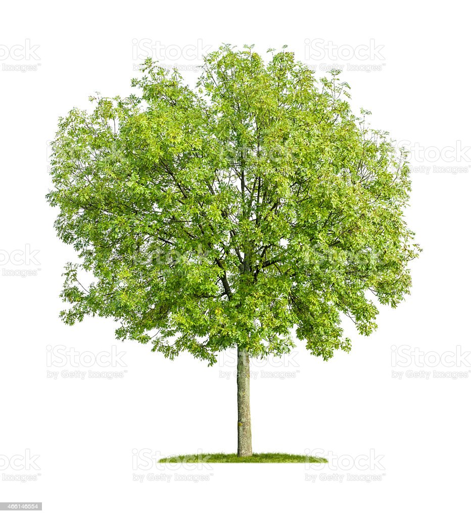 isolated ash tree on a white background stock photo