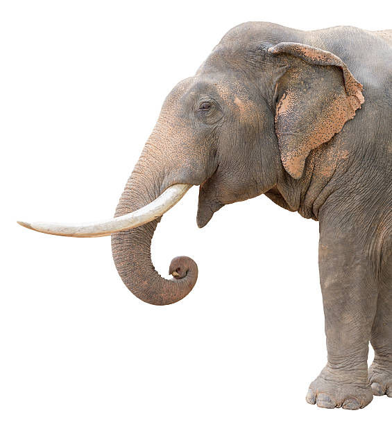 isolated asia elephant asia elephant isolated on white background with clipping path animal trunk stock pictures, royalty-free photos & images