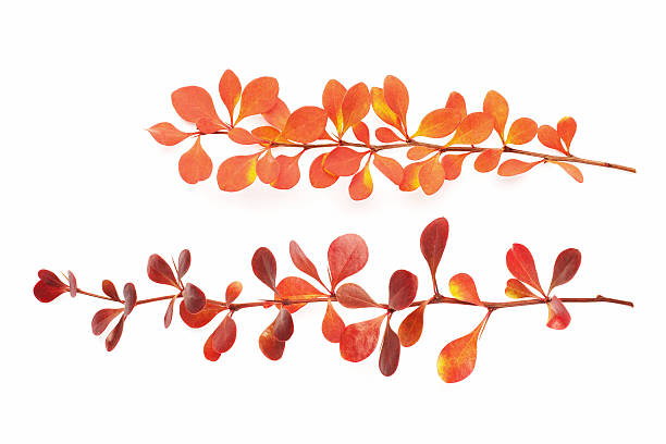 Isolated autumn branch stock photo