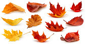 Isolated leaves. Collection of multicolored fallen autumn leaves isolated on white background