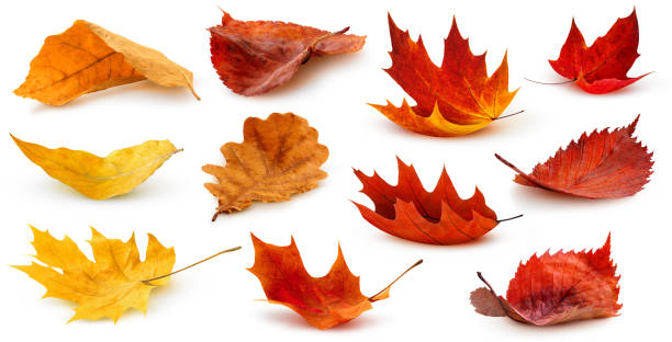 Isolated autumn leaves on the ground stock photo