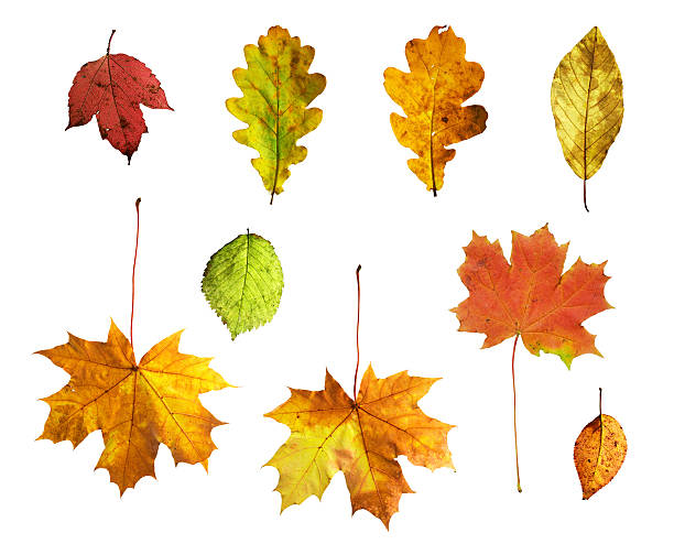 Isolated autumn leaves on white background stock photo
