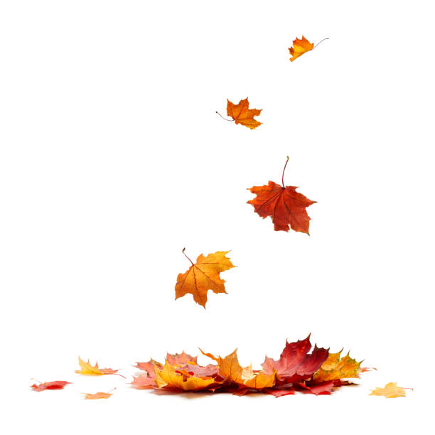 Isolated Autumn Leaves Isolated Autumn Leaves fall leaves stock pictures, royalty-free photos & images