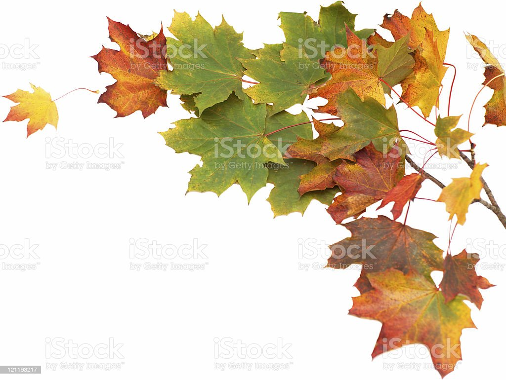Isolated Autumn leaves royalty-free stock photo