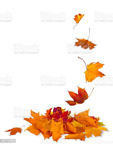 Isolated autumn leaves picture id614720828?b=1&k=6&m=614720828&s=612x612&h=myuz0tpq15hsfo0zyvnw2dkucmkpcharhgilgmn91xs=