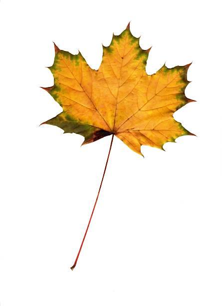 Isolated Autumn Maple Leaf (Yellow) stock photo