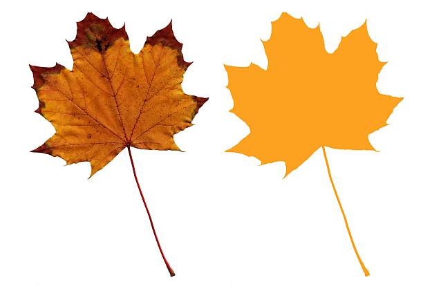 Isolated Autumn Maple Leaf (Yellow with Outline) stock photo