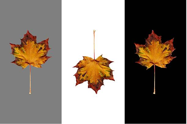 Isolated Autumn Maple Leaves on Black, White and 50% stock photo