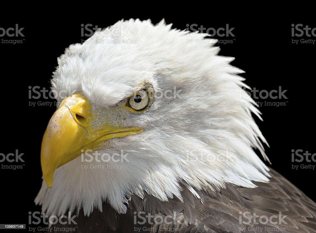 Isolated Bald Eagle stock photo