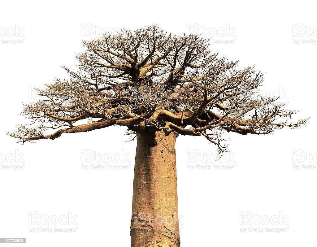 Isolated Baobab bildbanksfoto