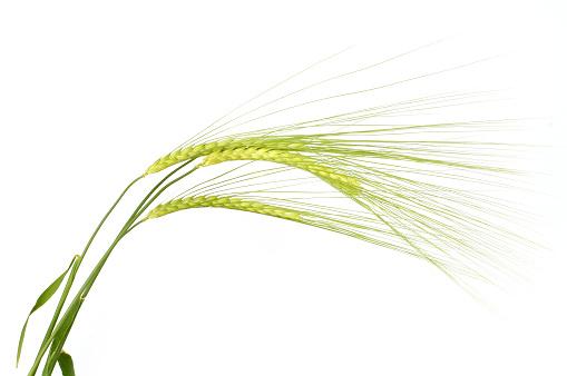 three sheaves of barley on white background
