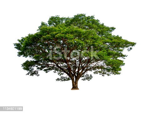 isolated beautiful green tree on white background, hight qaulity tree for website and print