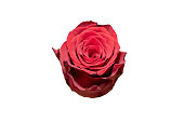 Isolated Beautiful Red Rose
