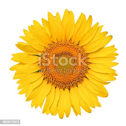 istock Isolated beautiful sunflower on white background with clipping path. 983815626