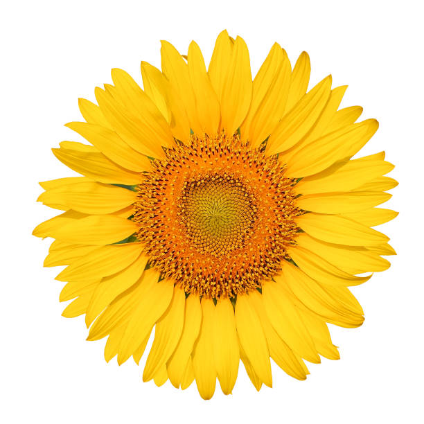 isolated beautiful sunflower on white background with clipping path. - fiori foto e immagini stock
