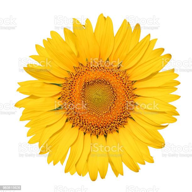 Photo of Isolated beautiful sunflower on white background with clipping path.