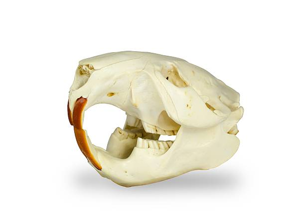Crâne isolé beaver - Photo