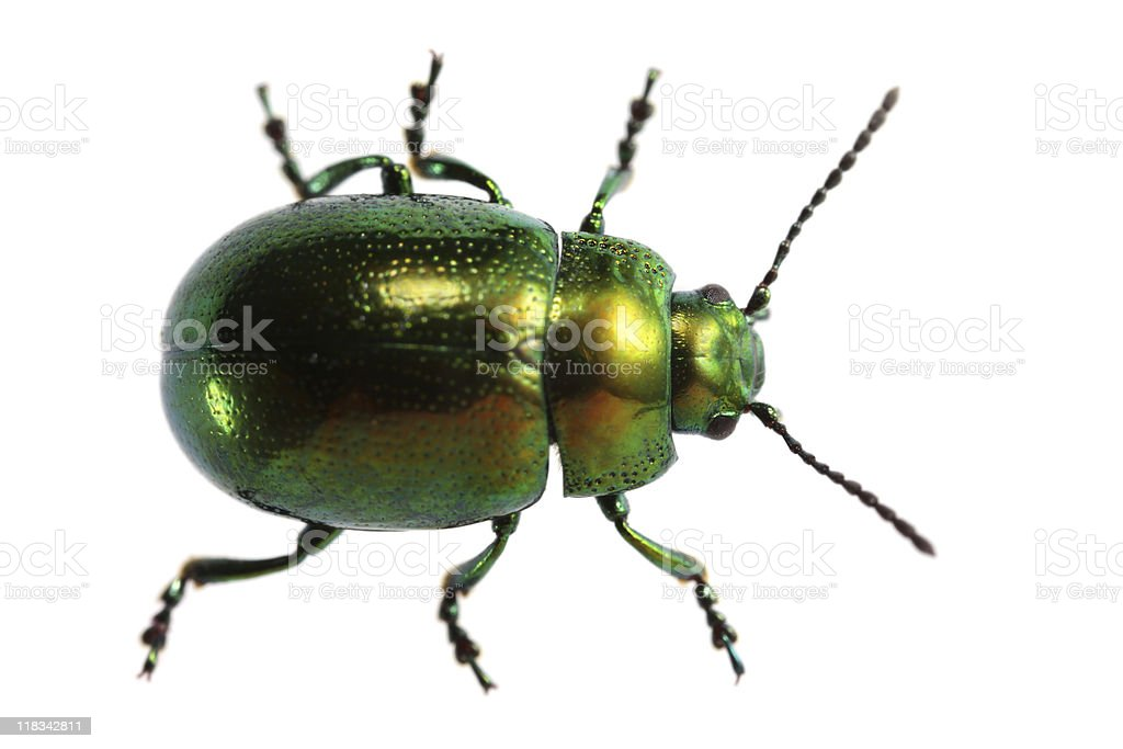 Isolated beetle (XXXL) stock photo