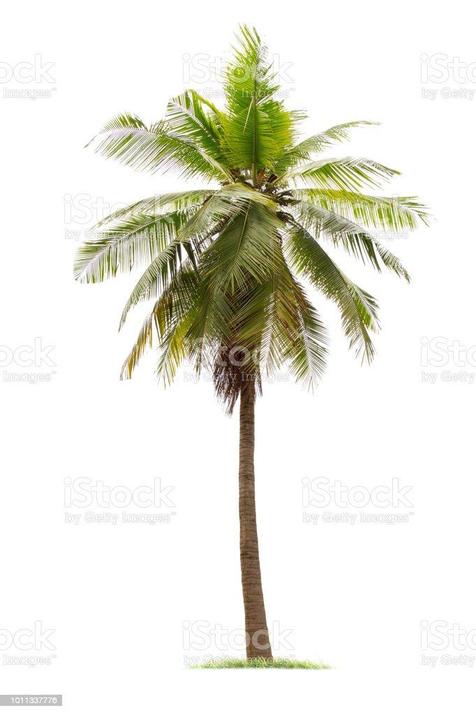 isolated big coconut tree on White Background. royalty-free stock photo