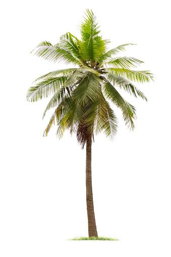 isolated big coconut tree on White Background.
