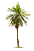 isolated big coconut tree on White Background.Large coconut trees database Botanical garden organization elements of Asian nature in Thailand, tropical trees isolated used for design, advertising
