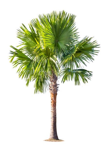 isolierte große kokospalme auf weißem hintergrund. - palmengarten stock-fotos und bilder