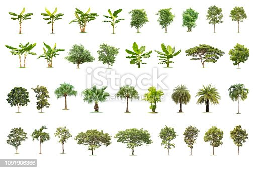 Isolated big tree on white background ,The collection of trees. Large trees database Botanical garden organization elements of Asian nature in Thailand,