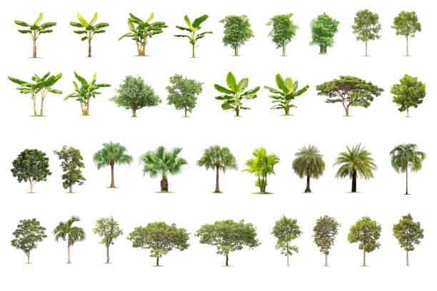 Isolated big tree on white background picture id1091906366?b=1&k=6&m=1091906366&s=612x612&w=0&h=szeig1qv9v5nslltpktpg4rasojjnwkg hrazcp5lqo=