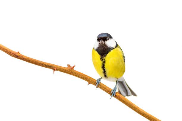 geïsoleerde vogel. witte achtergrond. vogel: grote tit. - neerstrijken stockfoto's en -beelden
