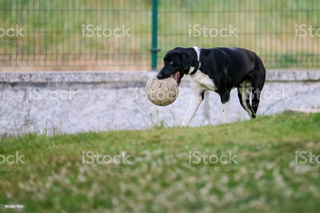 Isolated black and white puppy playing with ball in mouth. royalty-free stock photo