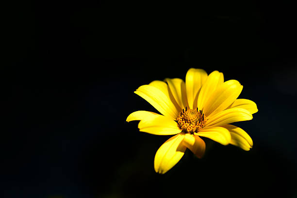 Daisy black black background single flower resimler grseller ve isolated black background yellow cosmos flower stok fotoraf mightylinksfo