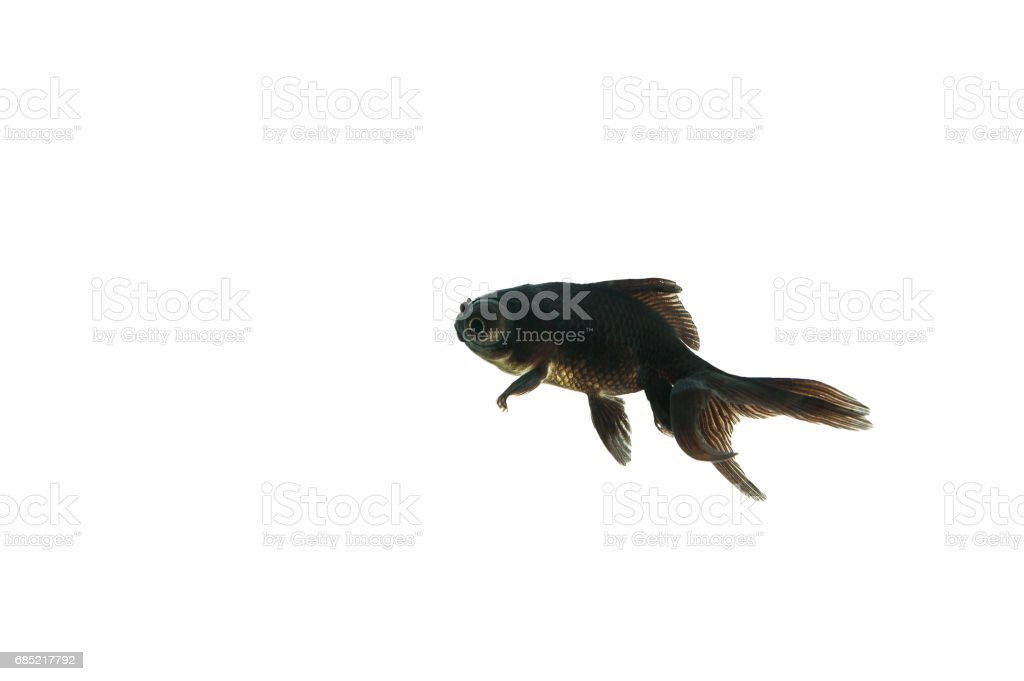 Isolated Black Goldfish stock photo