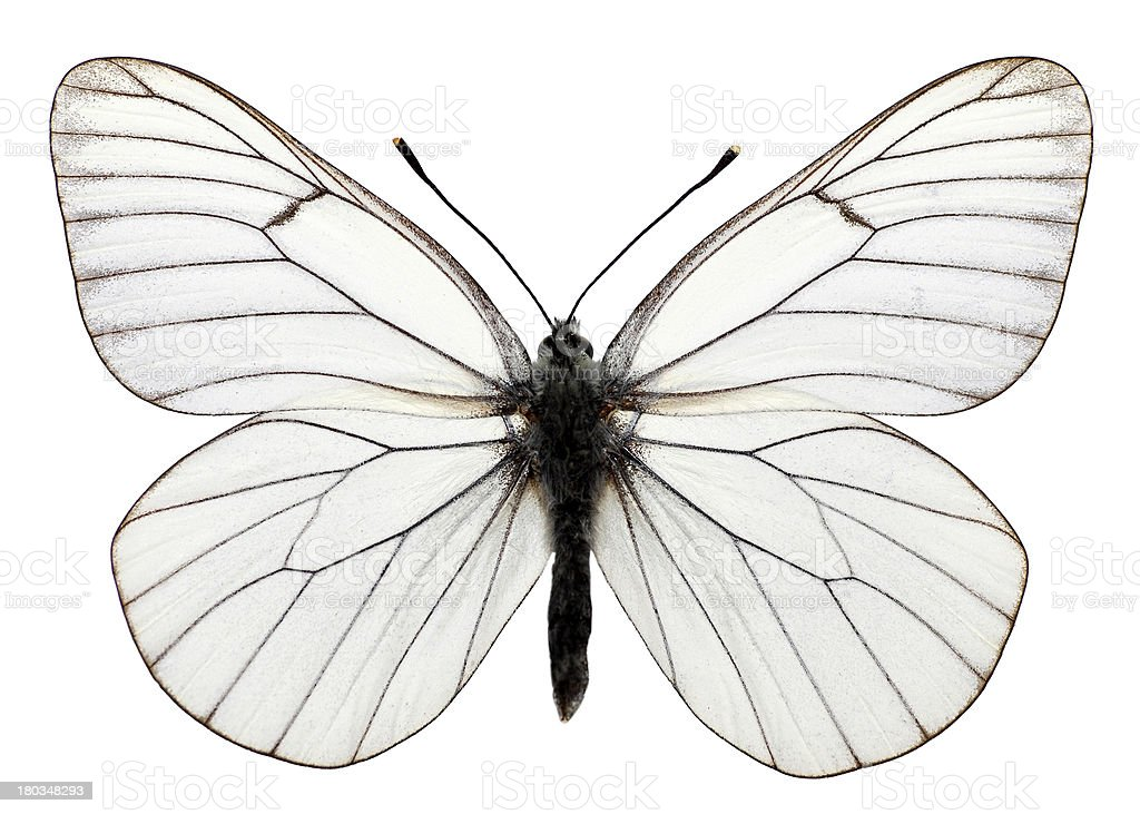 Isolated black veined butterfly stock photo