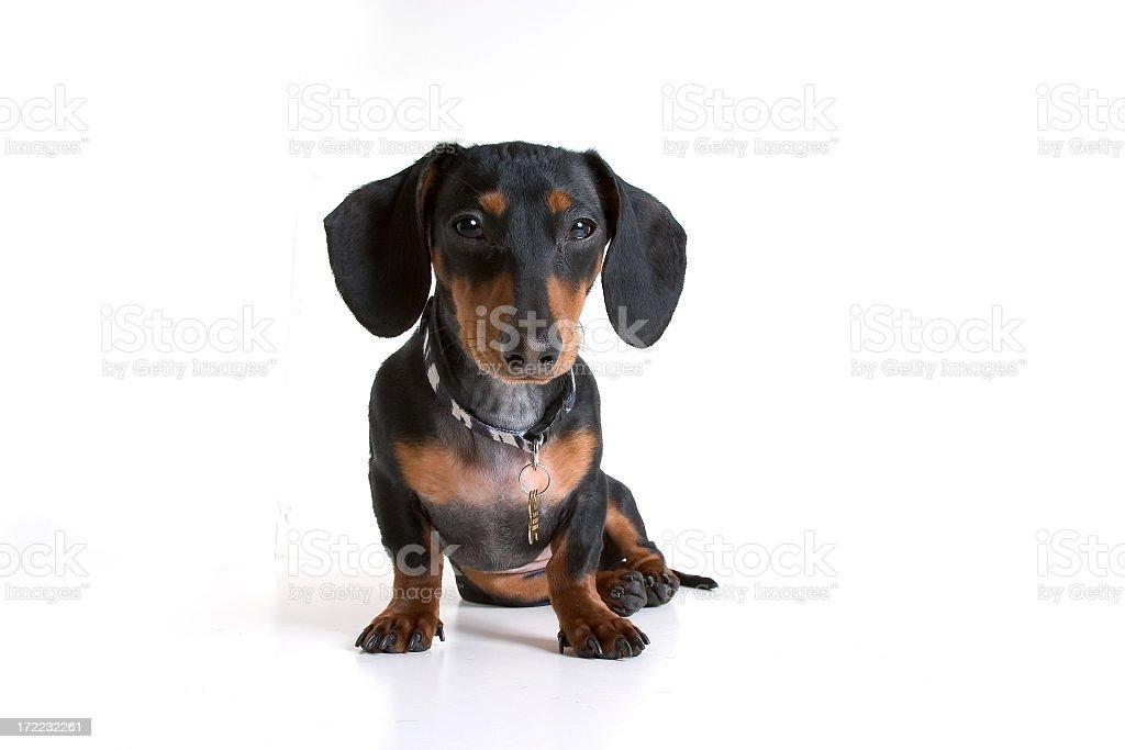 Isolated Black/Tan Mini Daschund Dog royalty-free stock photo