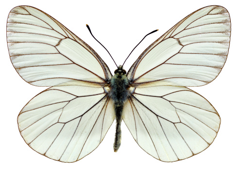 istock Isolated Black-veined White butterfly 164007462