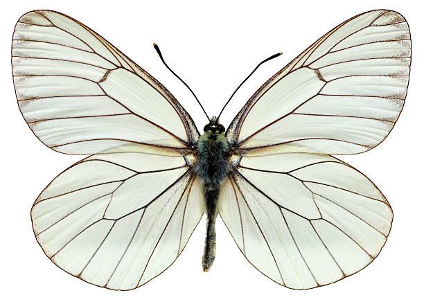 Isolated blackveined white butterfly picture id164007462?b=1&k=6&m=164007462&s=612x612&w=0&h=jq1is4ef6hdrliburmzjjtloagl3qlpzb15qix6gsde=