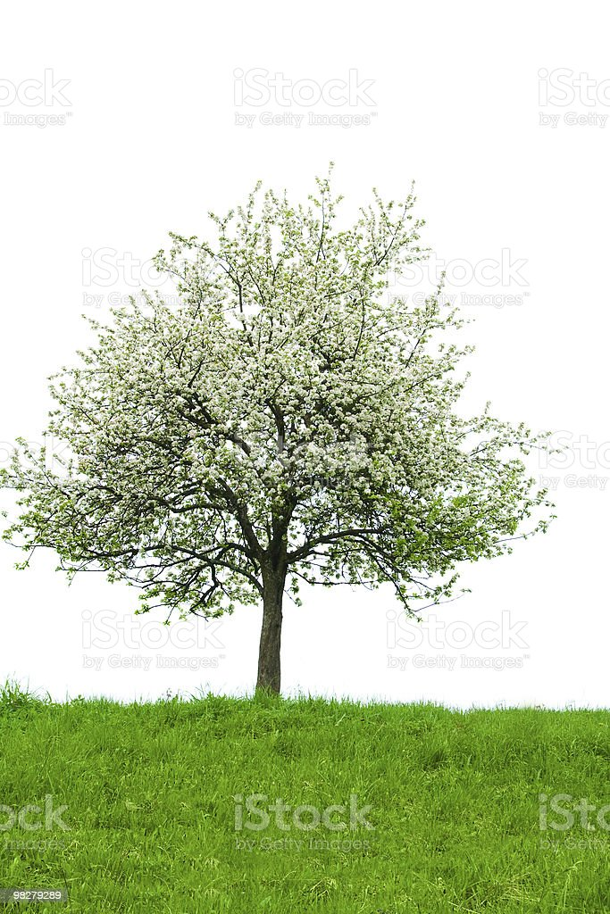 Isolated blooming tree royalty-free stock photo